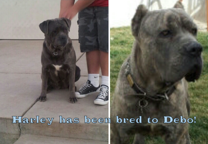 Harley has been bred to Debo!